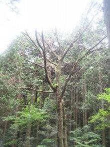 楽園管理人アツシの絵日記-枯れてしまったコナラの大木
