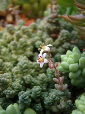 ゆる楽しいくらしづくり-ブレビフォリウムの小花♪