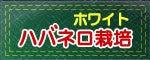 おいしい激辛.com ~激辛ハバネロ、激辛ブート・ジョロキアの栽培日記~-ハバネロ・ホワイト栽培