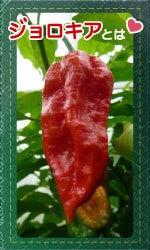 おいしい激辛.com ~激辛ハバネロ、激辛ブート・ジョロキアの栽培日記~-ブート・ジョロキアとは