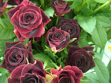今日のバラ-SPブラックビューティー