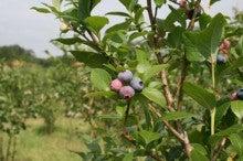 蛍の宿 芽のブログ-ブルーベリー畑