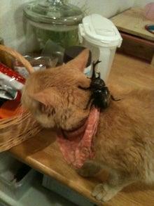 今日の新之介 ~癒し系オヤジ猫~-カブト虫