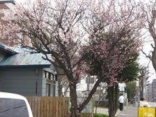 31歳からのスイーツ道#-100505札幌の桜