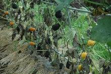$パンプキンミッション 宇宙かぼちゃ栽培ブログ-収穫前
