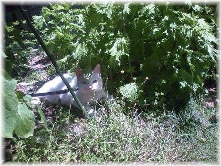 去年青しそ蒔いたら種が落ちて、わが庭は青しそ&ねぎ畑と化しております。