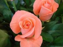 今日のバラ-サフィーア