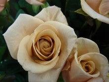 今日のバラ-J-シルクロード
