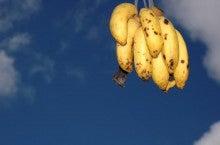 小笠原エコツアー 父島エコツアー         小笠原の旅情報と小笠原の自然を紹介します-バナナ