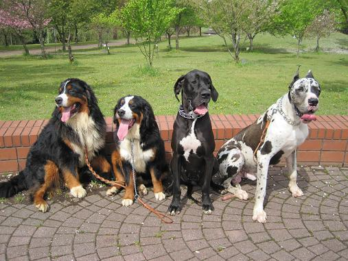 $☆Memories to be left★Bernese & Great Dane's growth☆