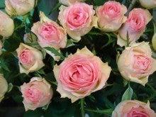 今日のバラ-シセロ