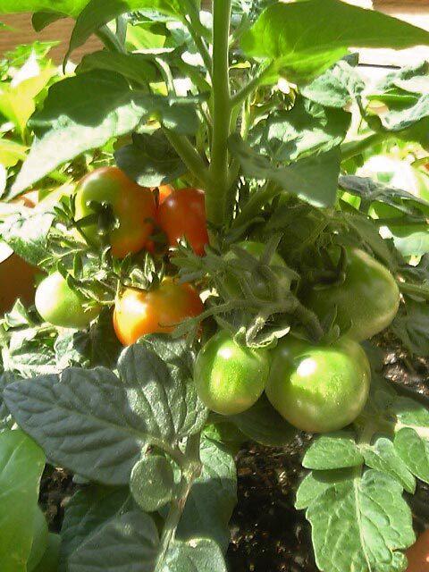 ゆる楽しいくらしづくり-トマトがころころ♪