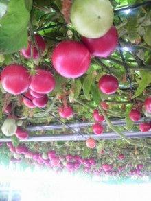 Kan-Kara-Rin-見渡す限りトマト。