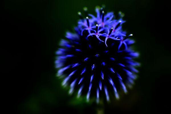 北海道の野生動植物写真-ルリ玉アザミ