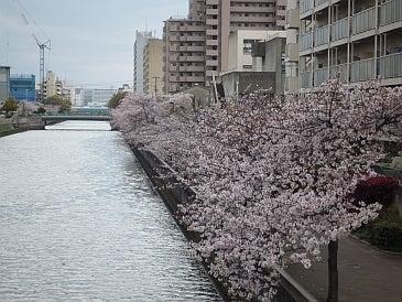 $わつぃの独りごと。-川沿いの桜。