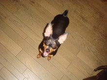 我が家のアイドル犬☆テディくんの日記-可愛いテディ