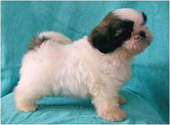 犬ブリーダー 子犬販売 (1ハニーわん)-シーズー 6/18生 ゴールド&ホワイト 男の子B君