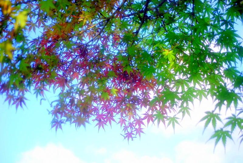 白鳥座-紅葉