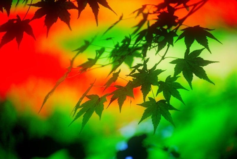 白鳥座-夏の彩り
