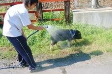 ミニ豚 プーギーの観察日記