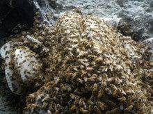 小笠原エコツアー 父島エコツアー         小笠原の旅情報と小笠原の自然を紹介します-蜂の巣