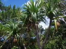小笠原エコツアー 父島エコツアー         小笠原の旅情報と小笠原の自然を紹介します-タコネズミ