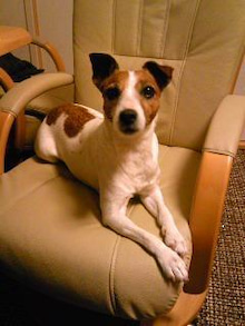 J.L.C Jack Russell Terrier loving club
