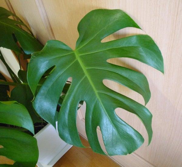 $cheltenhamのブログ-観葉植物・モンステラ