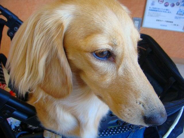 旅犬Lanileaのほほん風船記-健康診断