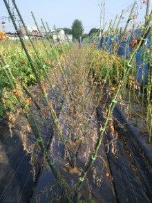 $nicoブログ  自家採種のすすめ  -9月1日ミニトマト