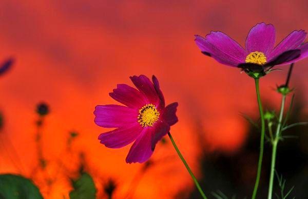 北海道の野生動植物写真-コスモス