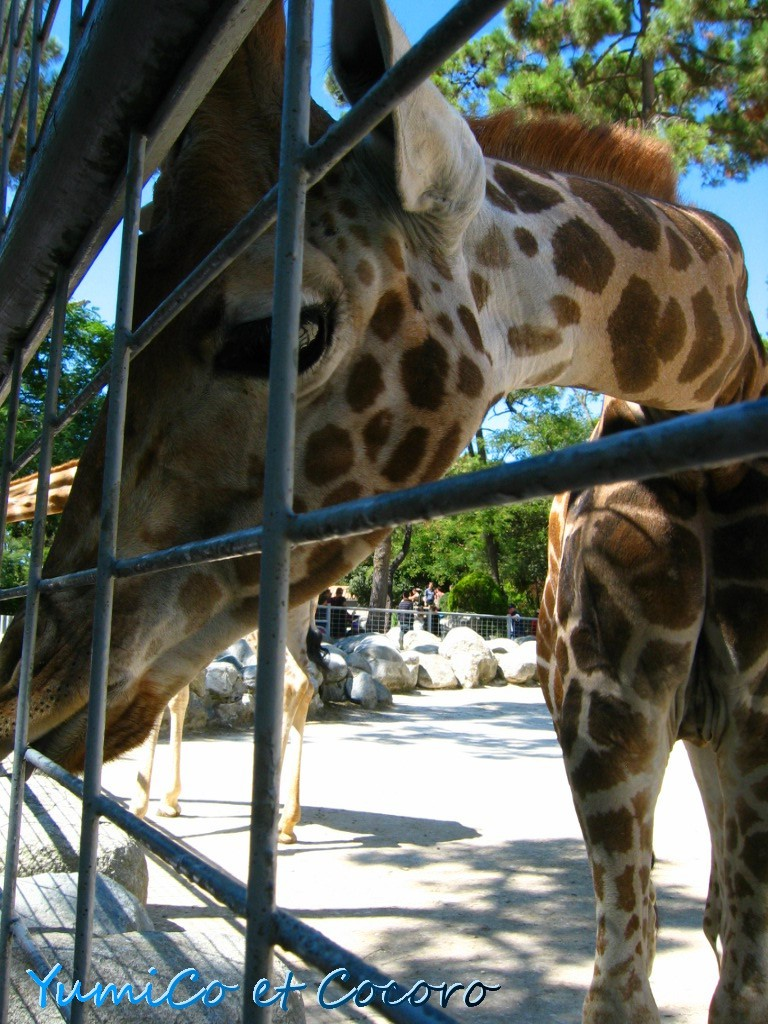 - Le blog de Paris- フランス生活,旅行記,結婚-La girafe de profil