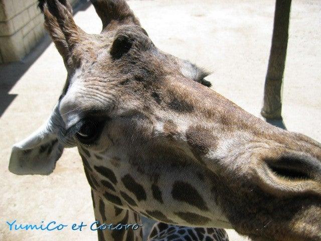 - Le blog de Paris- フランス生活,旅行記,結婚-La tete de la girafe