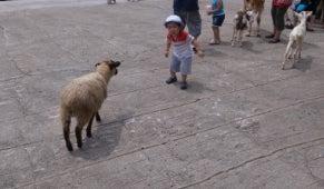 ハイヲピラ学習帳-羊恐い