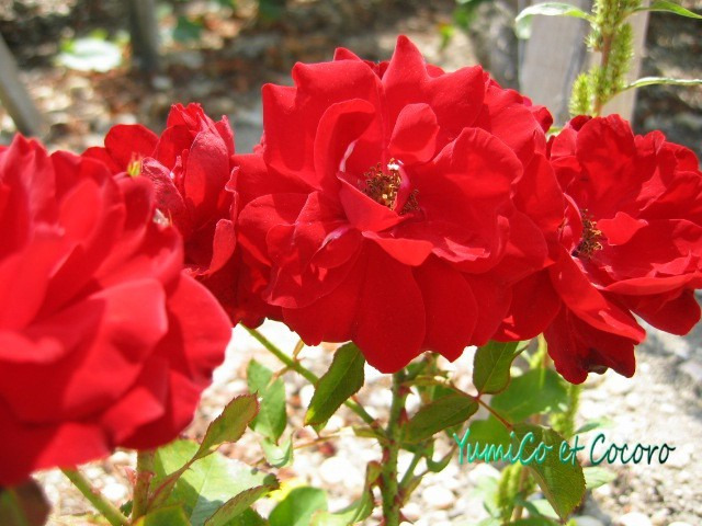 - Le blog de Paris- フランス生活,旅行記,結婚-葡萄畑のバラ