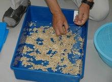 $パンプキンミッション 宇宙かぼちゃ栽培ブログ-種子を干す