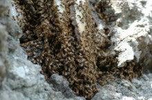 小笠原エコツアー 父島エコツアー         小笠原の旅情報と小笠原の自然を紹介します-ミツバチ