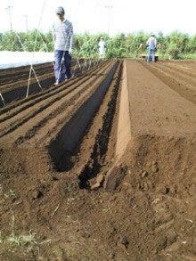 $nicoブログ  自家採種のすすめ  -小松菜支柱立て