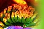 バナナ苗・種の販売専門店