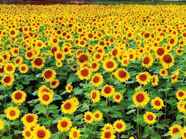 北海道の野生動植物写真-向日葵