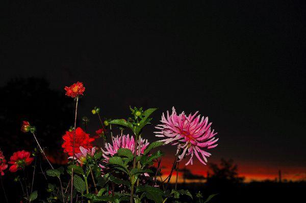 北海道の野生動植物写真-ダリア
