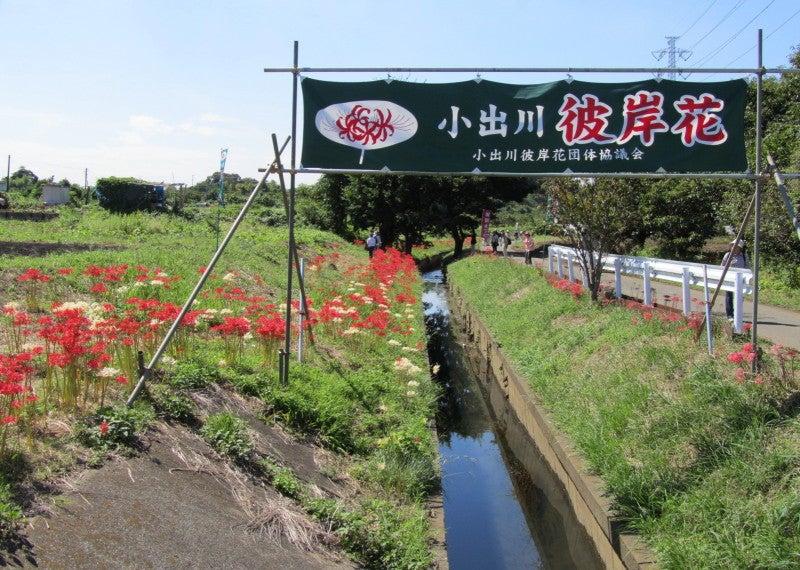 藤沢市遠藤の小出川彼岸花祭り画像