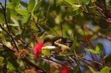 小笠原エコツアー 父島エコツアー         小笠原の旅情報と小笠原の自然を紹介します-メジロ