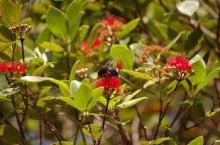 小笠原エコツアー 父島エコツアー         小笠原の旅情報と小笠原の自然を紹介します-オガサワラクマバチ