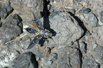 小笠原エコツアー 父島エコツアー         小笠原の旅情報と小笠原の自然を紹介します-ウバタマムシ