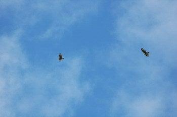 小笠原エコツアー 父島エコツアー         小笠原の旅情報と小笠原の自然を紹介します-ノスリ