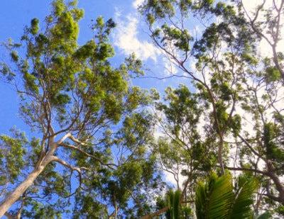 $楽園ハワイ通信 by Lani Tours-kukaniloko trees