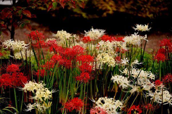 北海道の野生動植物写真-彼岸花