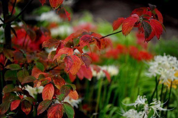 北海道の野生動植物写真-ハナミズキ
