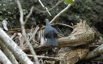 小笠原エコツアー 父島エコツアー         小笠原の旅情報と小笠原の自然を紹介します-ハト